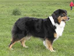 australian shepherd fur 75 best my obsession with aussies aka wiggle images on