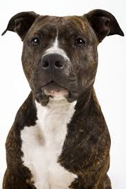 american pitbull terrier vs german shepherd best 25 staff terrier ideas on pinterest pitbull bull terrier