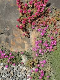 ice plant and other succulents in rock garden summer seattle