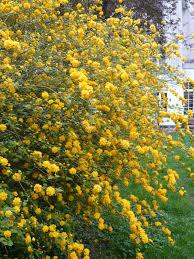 Yellow Pom Pom Flowers - stitches etc pompom bush kerria japonica