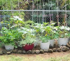 a kitchen garden in kihei maui growing cucumbers in kihei