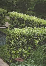 gondwana wholesale native plant nursery australia pittosporum eugenioides lemonwood evergreen icon trees nz