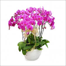 orchid delivery phalaenopsis orchid flower delivery singapore part 2