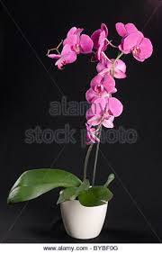 Black Orchid Flower Orchid In Black Pot Stock Photos U0026 Orchid In Black Pot Stock