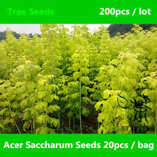 brightly colored acer saccharum seeds 200pcs origin sugar maple