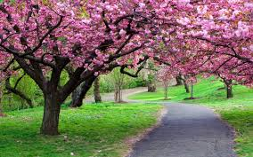 cherry blossom tree facts sakura flowers free hd wallpapers 2560 1600 high definition kapı