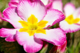 Pink Primrose Flower - free photo primrose flower blossom bloom free image on