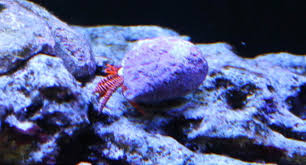 halloween hermit crab reef aquarium