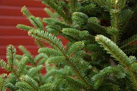 fraser fir christmas tree real indiana christmas trees fraser fir white pine scotch pine