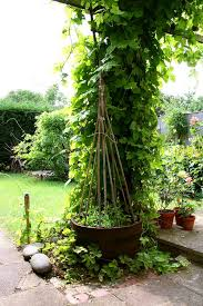 Hops On Trellis Ewa In The Garden 15 Ideas Of Diy Pea Trellis