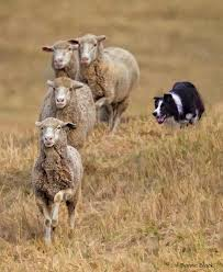 australian shepherd herding sheep the 25 best herding dogs ideas on pinterest blue merle border