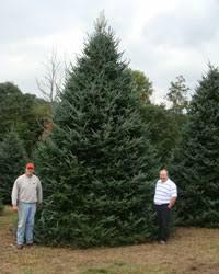 white house trees nc christmas trees