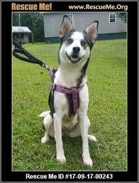 american eskimo dog growling north carolina american eskimo dog rescue u2015 adoptions u2015 rescueme org