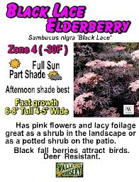 valley nursery inc sambucus elderberry