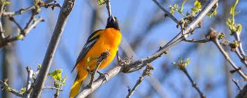 Rhode Island birds images Baltimore oriole rhode island bird hunter jpg