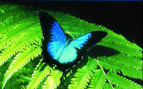 free ulysses butterfly wallpaper download animals town