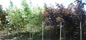 tree growers cambridgeshire poplar nurseries poplar nurseries