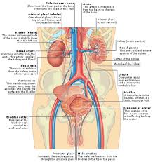 anatomy abdomen quadrants gallery learn human anatomy image