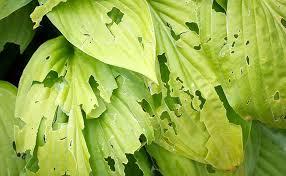 to identify indoor garden pests u0026 diseases