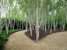 25 best silver birch tree images on landscaping