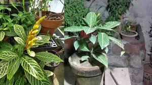 how to sanchezia nobilis plant indoor plants sanchezia care
