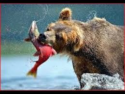 Animal Planet Documentary Grizzly Bears Full Documentaries - new documentary alaska bear documentaries bbc grizzly bears