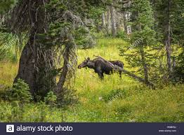 moose standing by summer yellow wildflowers in a pine tree forest