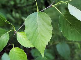 isu forestry extension tree identification paper birch betula