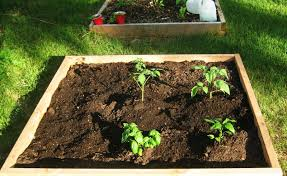 beautiful vegetable garden soil mix planting veggie starts in a