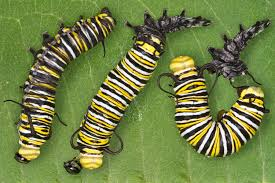 monarch butterfly larvae educational science