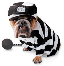 English Bulldog Halloween Costumes 424 Animal Halloween Costumes Images Animals
