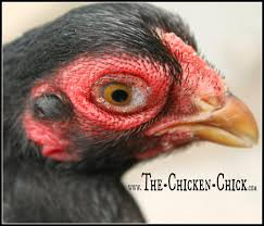 the chicken how to help a sick chicken