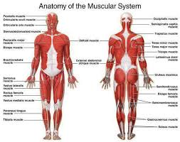 Human Anatomy And Physiology Terminology Images Of The Muscular System Health Pinterest Muscular
