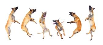 belgian malinois little rock riverwood working malinois breeding the ultimate working dog