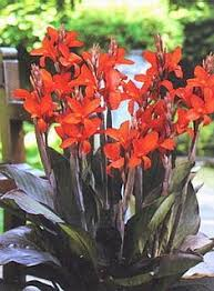 cana lilly city of portland canna lilies s garden canna