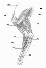 Dog Anatomy Front Leg Lost Temple Fitness Anatomy