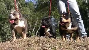 american pit bull terrier registry american bully xtreme pitbull pax puppies ipc international