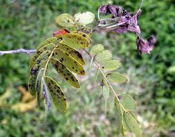 Rust Disease On Plants - senna rust disease youtube