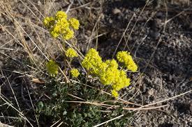 northern california native plants california native plant profile buckwheat uc master gardeners