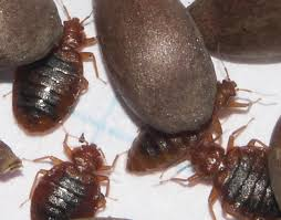 Bed Bugs In Ohio Ddt Bed Bug Blog Report