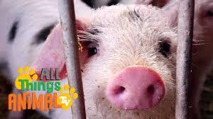 pigs animals for children kids videos kindergarten preschool