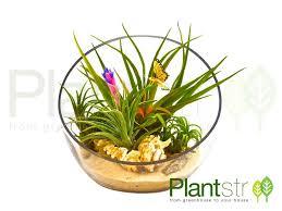 7 inch bevel cut glass bowl air plant terrarium plantstr