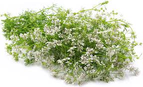 Metz Flowers - coriander flowers information recipes and facts