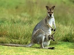 imagenes animales australia 15 best known unique wild animals of australia
