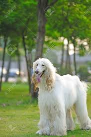 afghan hound and poodle white afghan hound dog standing on the lawn stock photo picture