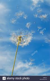 blue seed dandelion seed head and seeds blowing in the wind against blue sky
