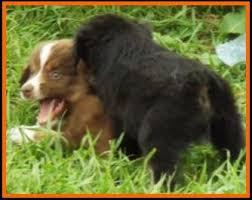 australian shepherd 6 weeks old jessie u0027s litter 2 pup6 blue eyed bet red tri female miniature