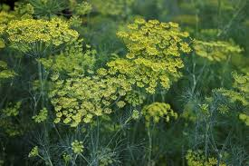 fennel flower on a green background flower of dill stock photo
