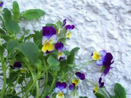 native uk plants hooters hall blog archive native plants heartsease wild