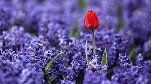 independence quote garden flower red purple garden independence holland flowers flower